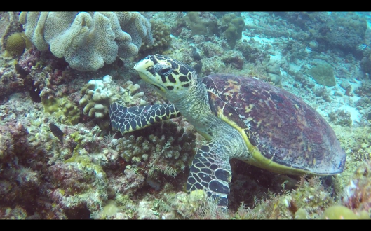 another turtle around rasdhoo atoll maldives